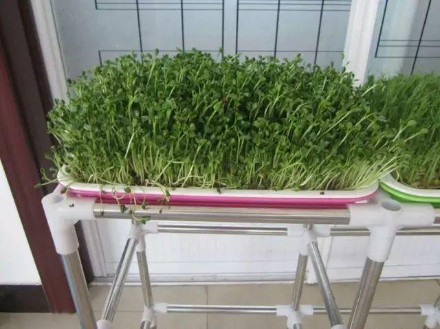 种下这些10天就能吃的菜,正好年底打火锅_12