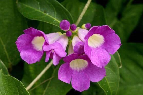 十八种藤本植物大集合~-041.jpg