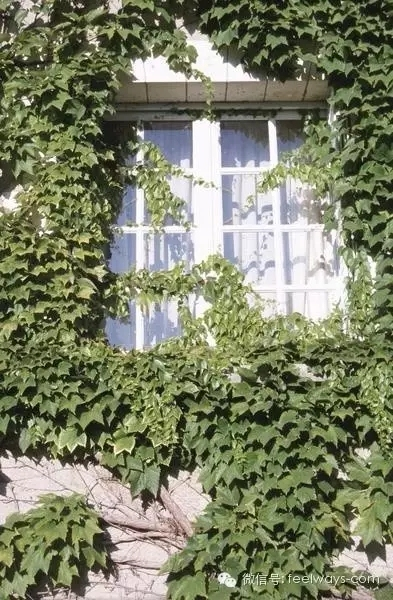 藤本植物[攀附的美丽]-640.webp (16).jpg