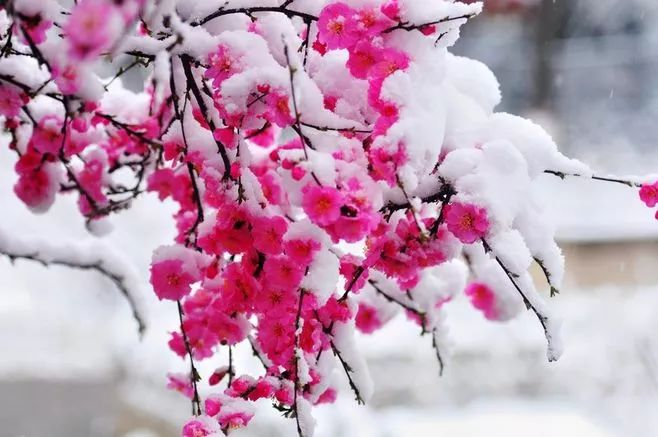 暗香疏影,踏雪寻梅,太美了!_14