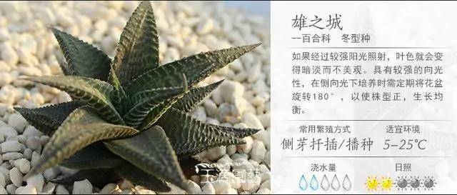 一入肉界深似海,100种常见多肉植物养护宝典_34