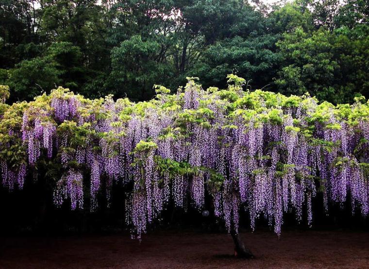 四季中,让人嗅到醉的植物-紫藤2.jpg