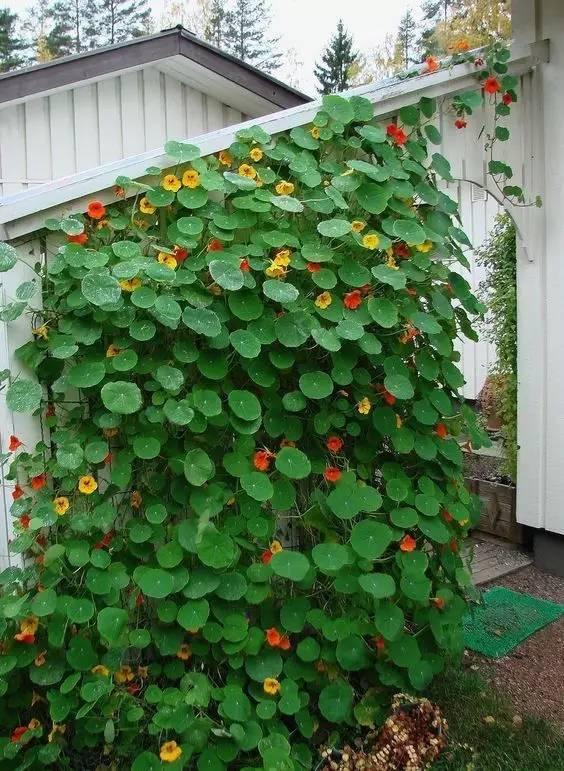 攀缘植物竟然可以如此美!_18