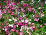 最适合春天种的花,随便撒把种子,花开一年不断!