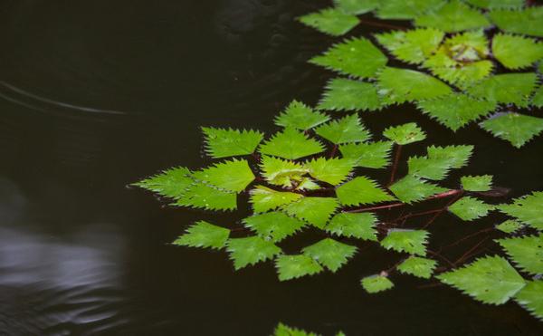 看看你认识几种水生植物!-菱角.jpg