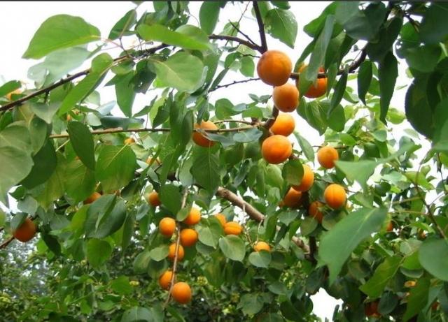 云淘景观 13种落叶乔木——园林植物科普版