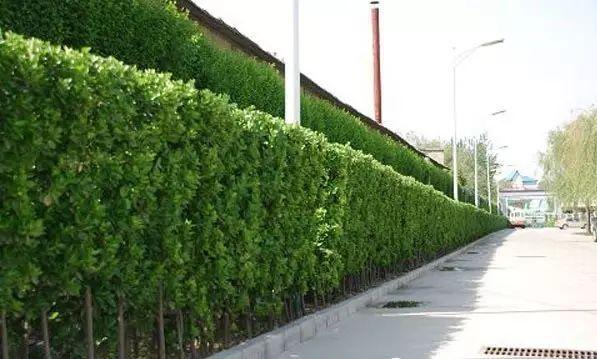 绿篱在景观中的运用