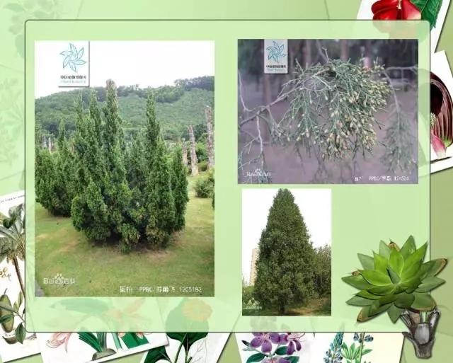 100种常见园林植物图鉴-20160523_183224_013.jpg
