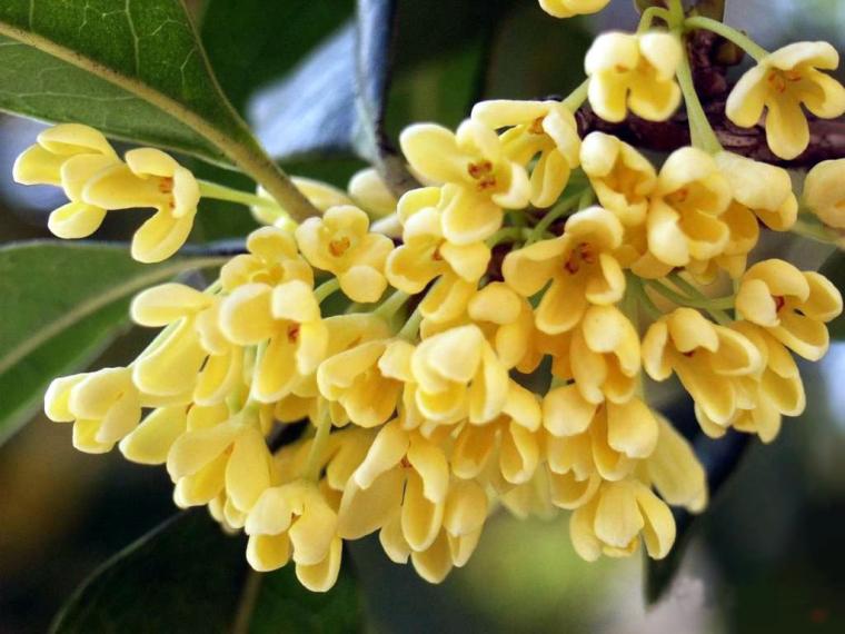 四季中,让人嗅到醉的植物-桂花.jpg