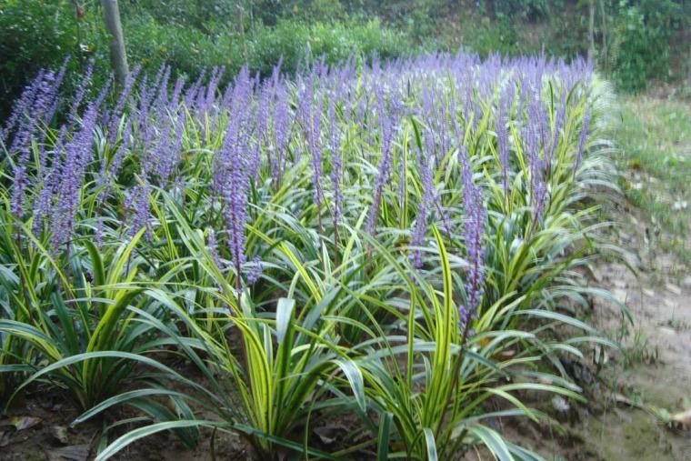 干货 景观地被植物的选择方式_10