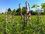 被称最迷你的兰草,开花路径形似盘龙!