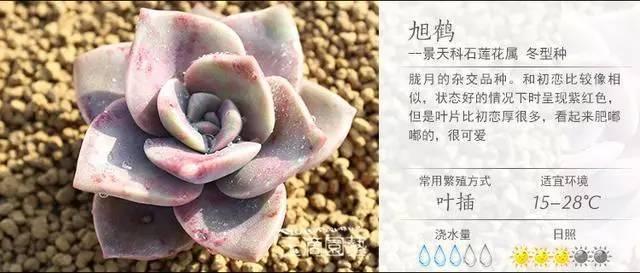 一入肉界深似海,100种常见多肉植物养护宝典_42