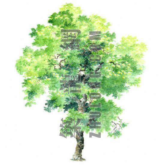 手绘园林植物立面图百例-3