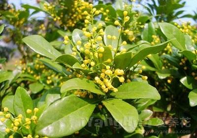 香花植物-嗅觉盛宴_34