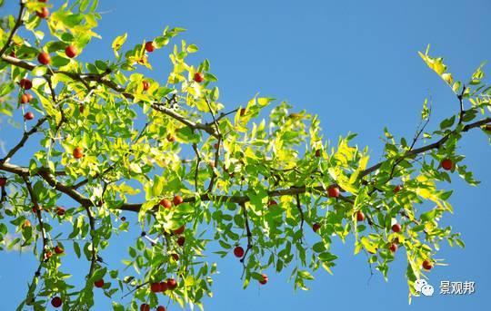 最吉祥的三十种庭院主景树_33