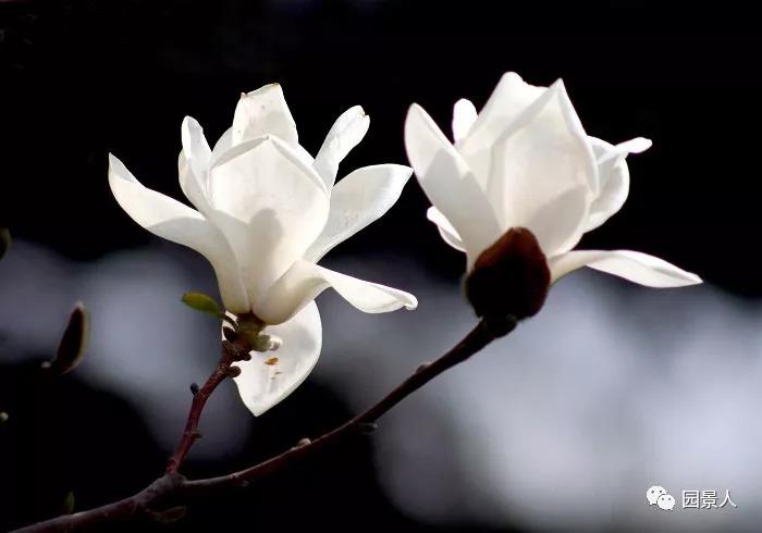 灵气之源·中式庭院主景树一览_17