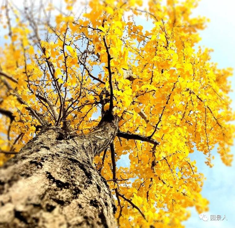 灵气之源·中式庭院主景树一览_22