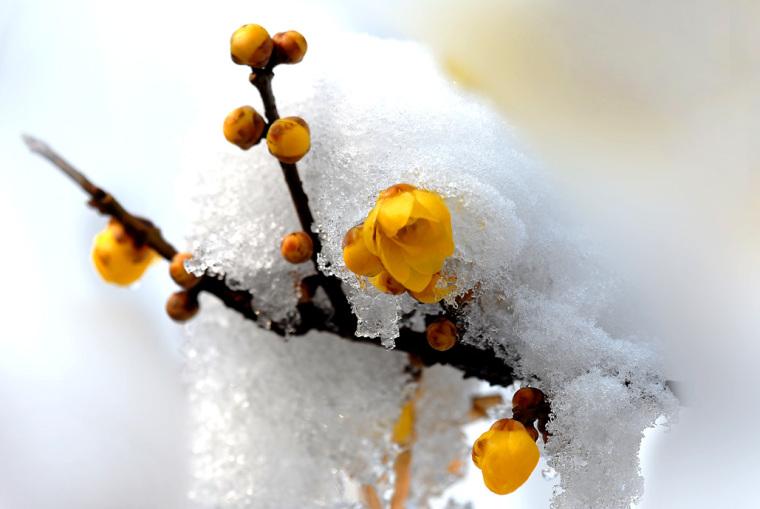 四季中,让人嗅到醉的植物-腊梅2.jpg