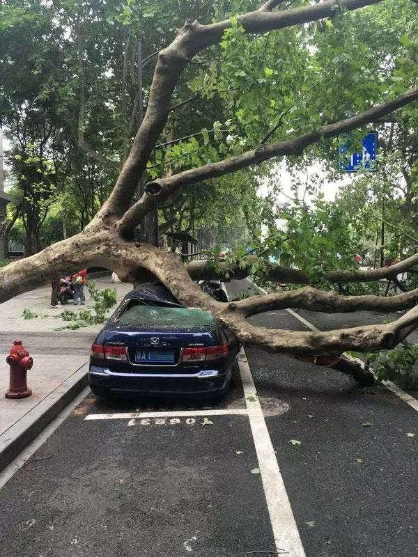 法国梧桐惹争议,究竟适不适合做行道树???_2
