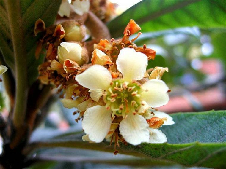四季中,让人嗅到醉的植物-枇杷.jpg