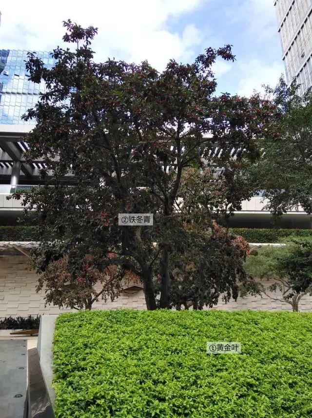 最详细图解:深圳湾三大豪宅景观植物配置!_14