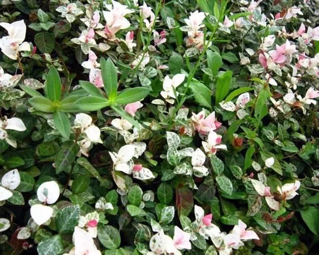 18种常见的镶边植物,你认识几种??_20
