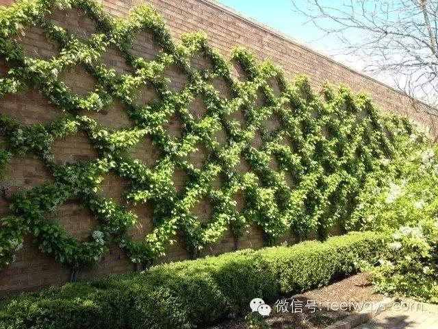 藤本植物[攀附的美丽]-640.webp (24).jpg