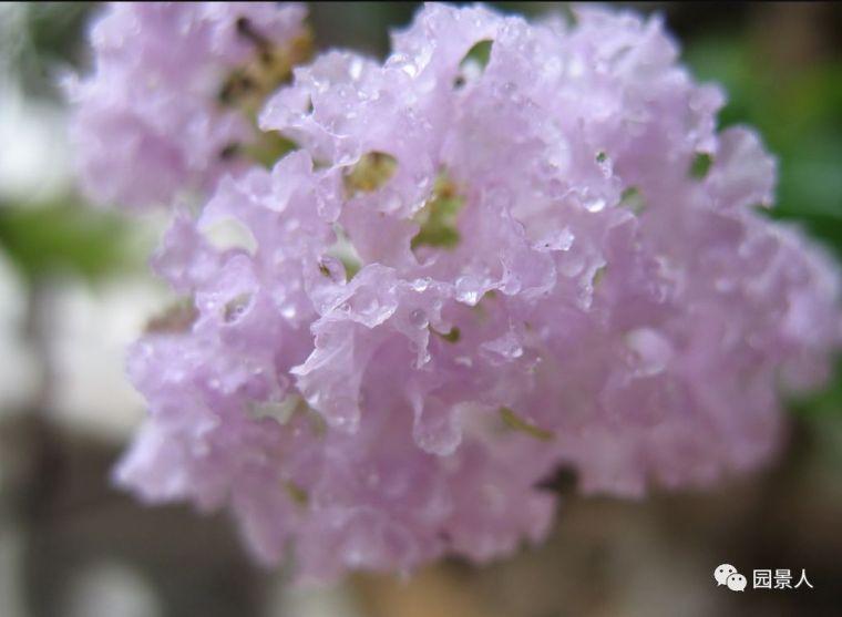 灵气之源·中式庭院主景树一览_5