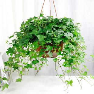 常青藤的养殖方法是什么_常春藤盆栽技术-景观植物