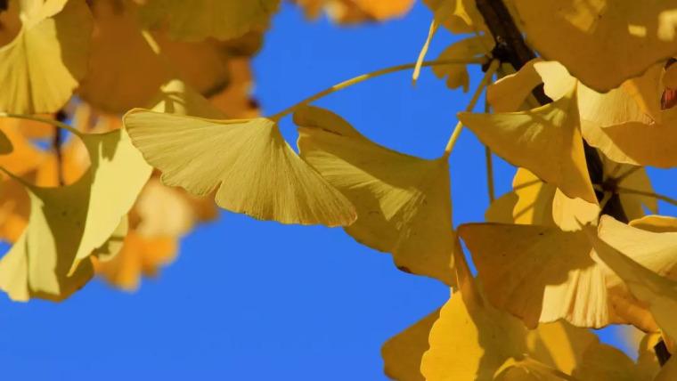 灵气之源·中式庭院主景树一览_21