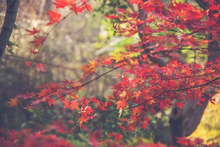 中国最美红叶观赏指南,错过再等一年_17