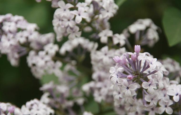 四季中,让人嗅到醉的植物-丁香2.jpg