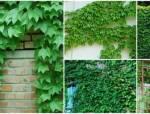十一假,可以用它来布置自己的庭院![爬藤植物篇]