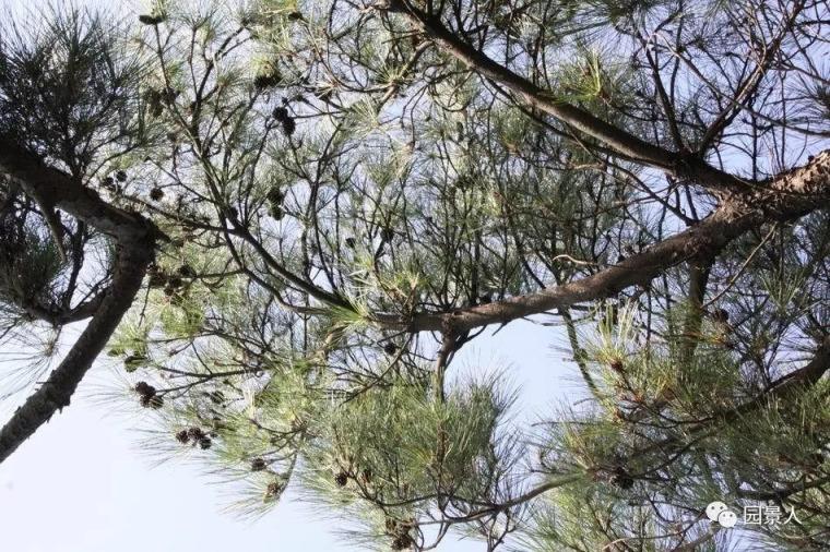 灵气之源·中式庭院主景树一览_23