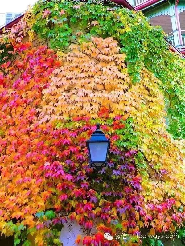 藤本植物[攀附的美丽]-640.webp (5).jpg