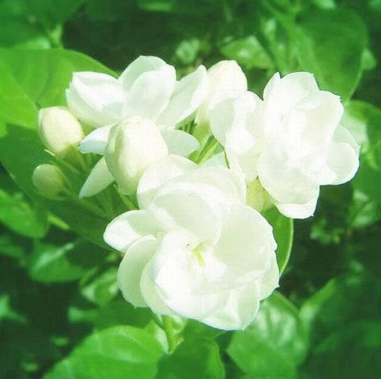 四季中,让人嗅到醉的植物-茉莉.jpg