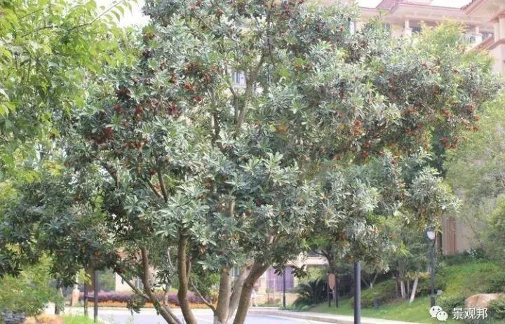 最吉祥的三十种庭院主景树_38