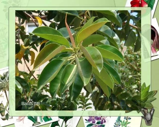 100种常见园林植物图鉴-20160523_183224_063.jpg