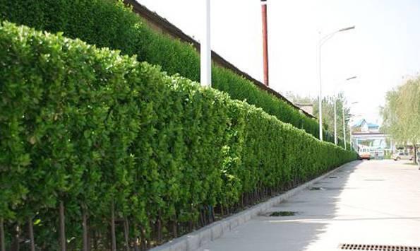 绿篱&景观中的运用