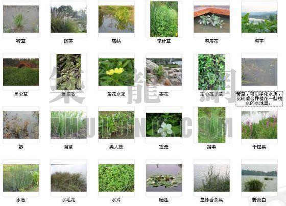 30余种水景植物图片
