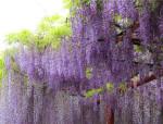美到窒息的紫藤萝瀑布,刻骨的爱情!