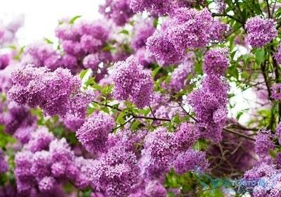 香花植物-嗅觉盛宴_4