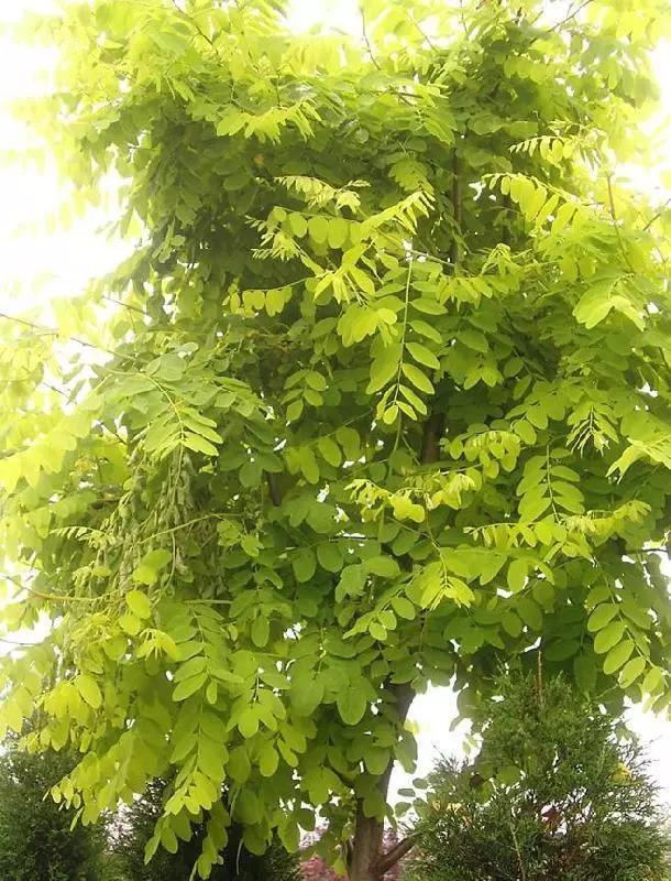 灵气之源·中式庭院主景树一览_18