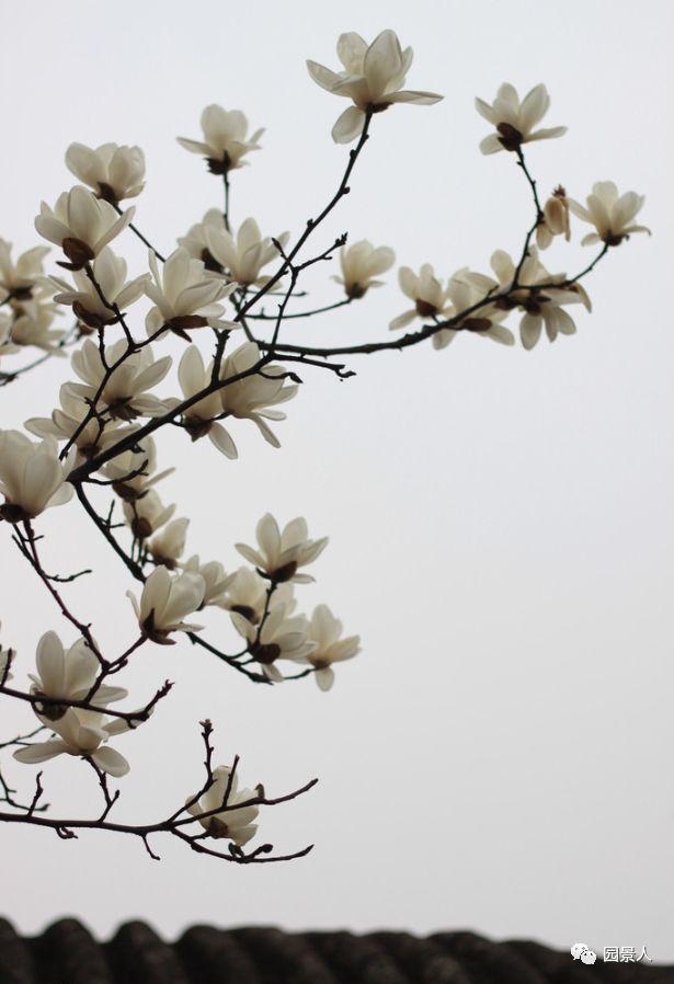 灵气之源·中式庭院主景树一览_1