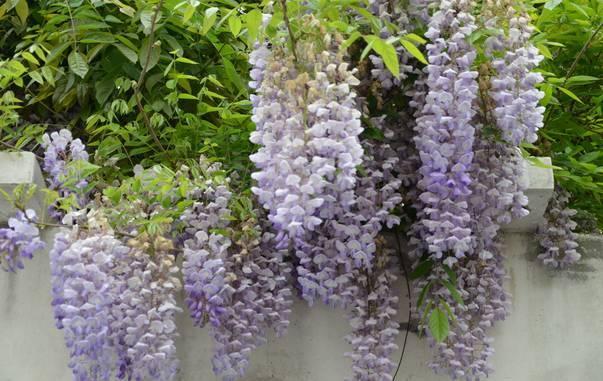 十八种藤本植物大集合~-022.jpg