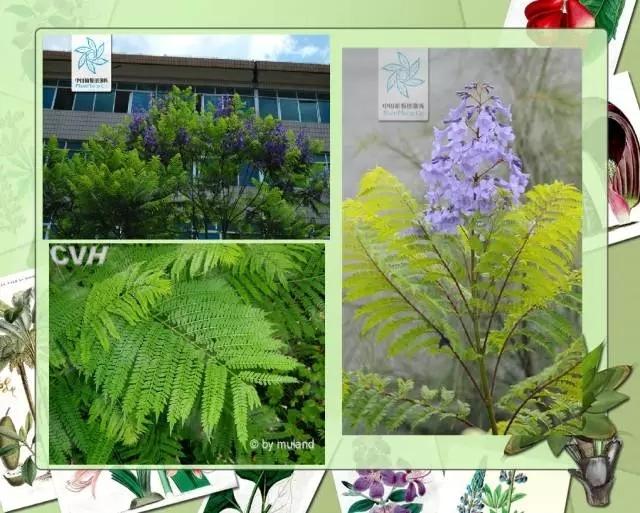 100种常见园林植物图鉴-20160523_183224_105.jpg