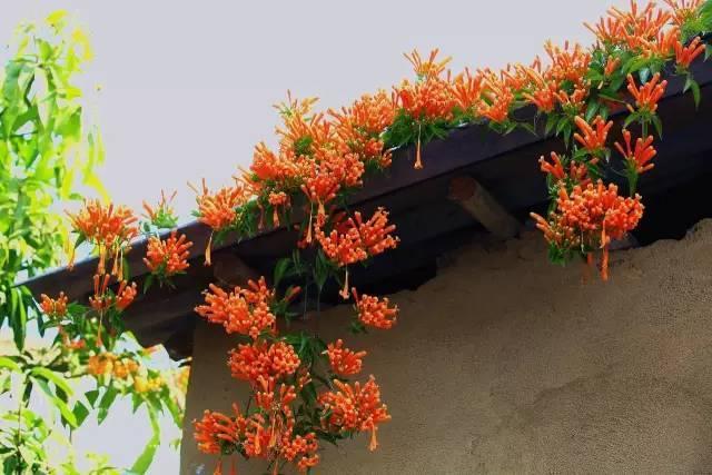十八种藤本植物大集合~-015.jpg