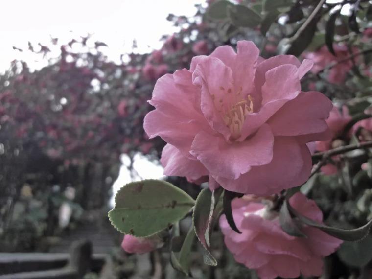 灵气之源·中式庭院主景树一览_3