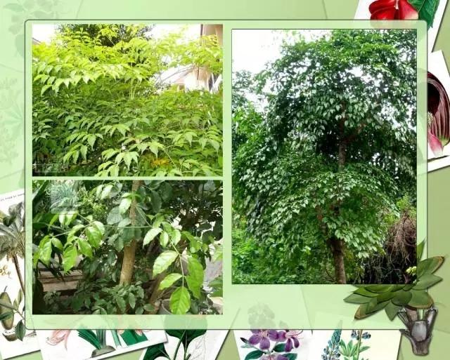 100种常见园林植物图鉴-20160523_183224_081.jpg