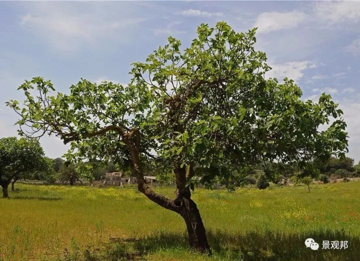 最吉祥的三十种庭院主景树_42